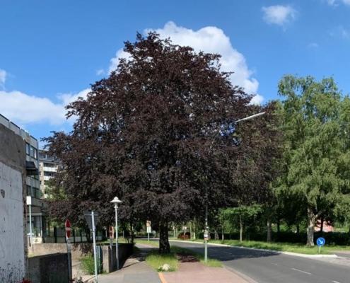 Rotbuche Schauenburger Straße